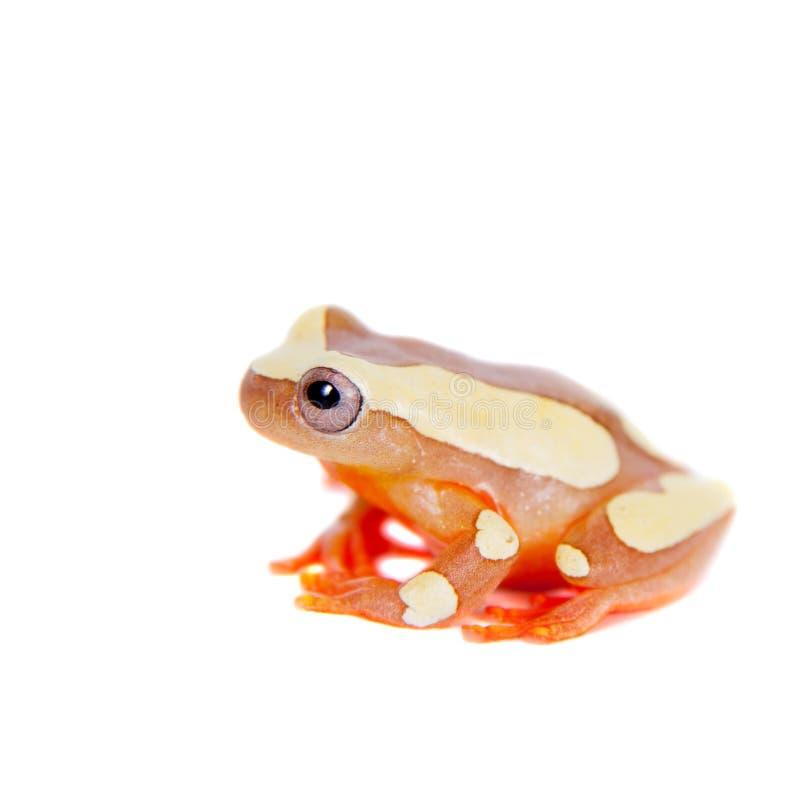 Shreve的在白色隔绝的Sarayacu treefrog 免版税库存照片