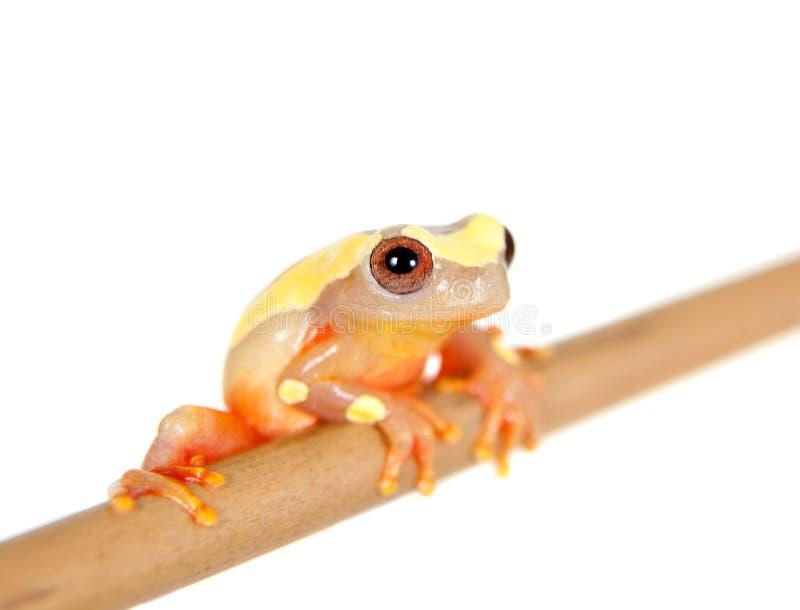 Shreve的在白色隔绝的Sarayacu treefrog 免版税库存图片