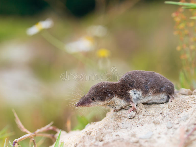 Shrew Branco-dentado bicolor fotografia de stock