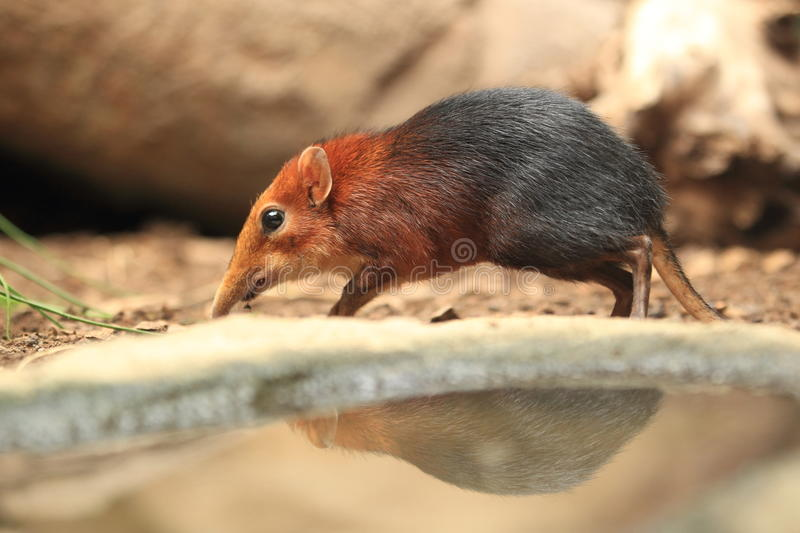 Shrew preto e rufous do elefante foto de stock