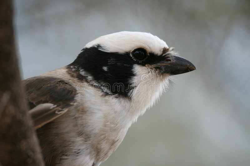 shrike royaltyfria foton