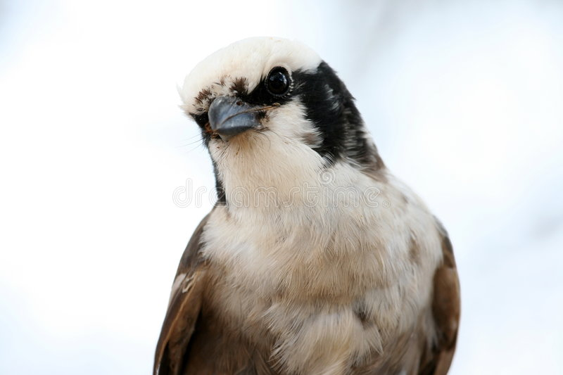 shrike royaltyfria bilder