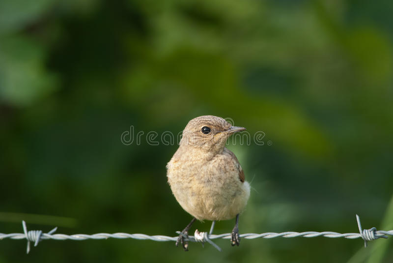 Red-Backed Shrike junior. Juvenile Red-Backed Shrike on a barbed wire royalty free stock images