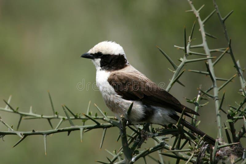 Shrike Blanco-coronado norteño, África imagen de archivo libre de regalías