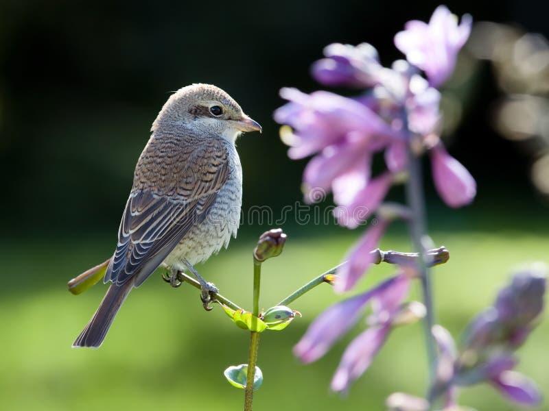 Shrike on flower stock photos