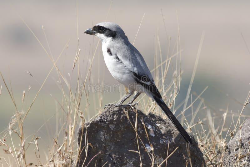 Shrike gris fotografía de archivo