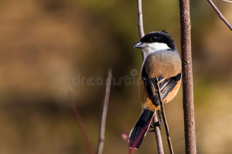 Shrike Long-tailed photographie stock