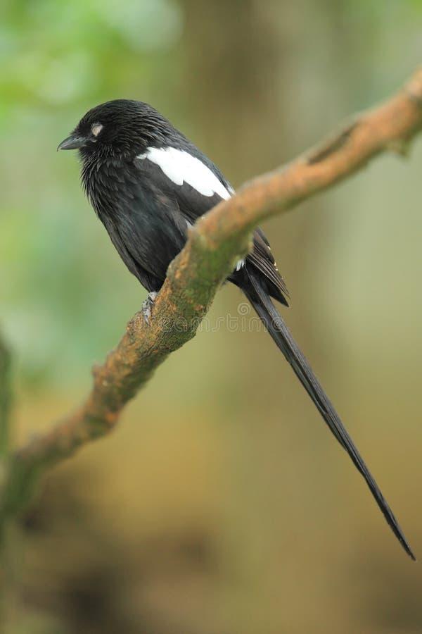 Shrike Magpie стоковые фото
