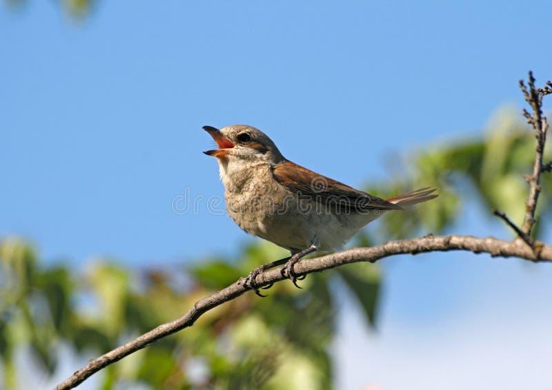 Shrike rosso-di appoggio canto (femmina) immagini stock libere da diritti
