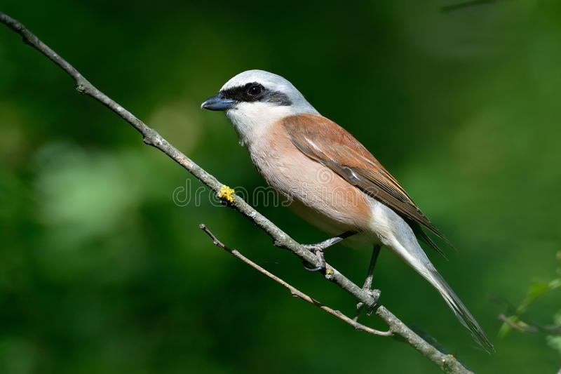 Download Shrike Rouge-desserré (collurio De Lanius) Image stock - Image du ornithologie, facture: 56482439