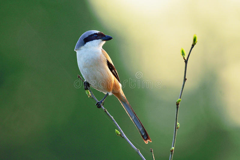 Shrike stock images