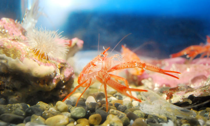 Shrimp. stock photography
