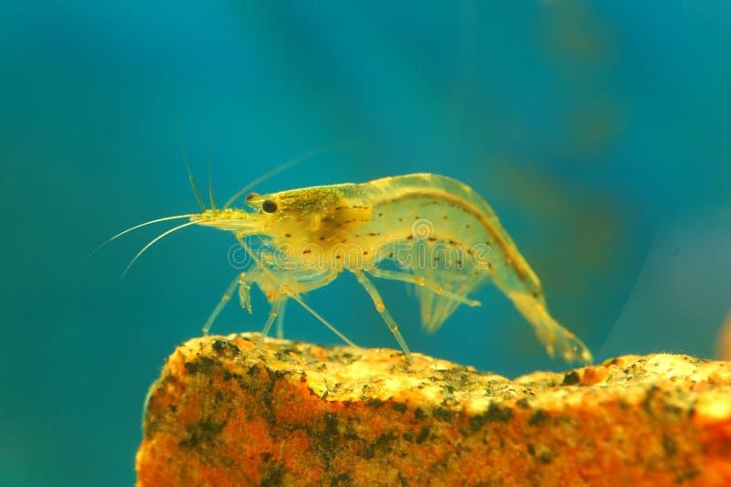 Shrimp. Amano shrimp on a stone in an aquarium stock image