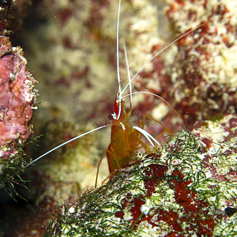 Shrimp. Macro shot of a shrimp on the reef royalty free stock photo