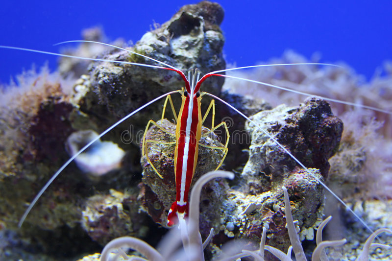 Shrimp in Aquarium. A colorful shrimp and other sea life on the coral reef at the aquarium royalty free stock photos