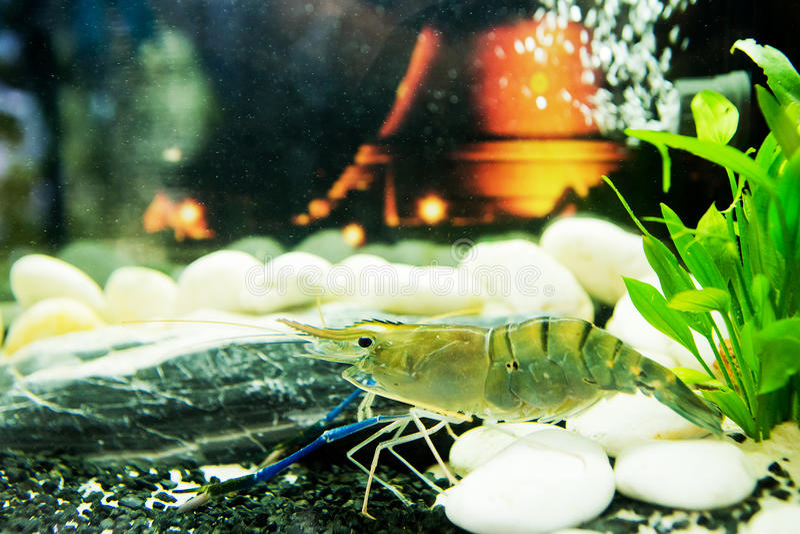 Shrimp in aquarium. Shrimp in a freshwater aquarium stock photography