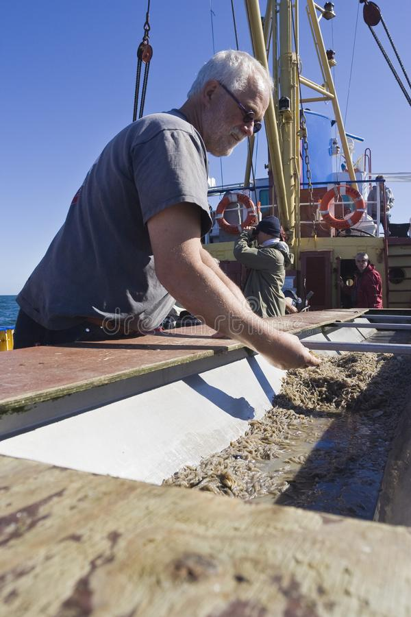 Shrimp fishing at Wadden Sea. Man checking caught shrimps at a fishing boat at Wadden Sea royalty free stock images