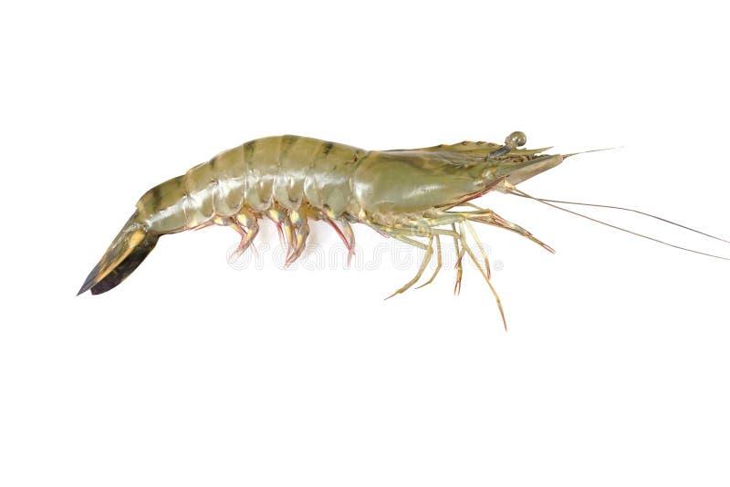 Shrimp isolated stock images