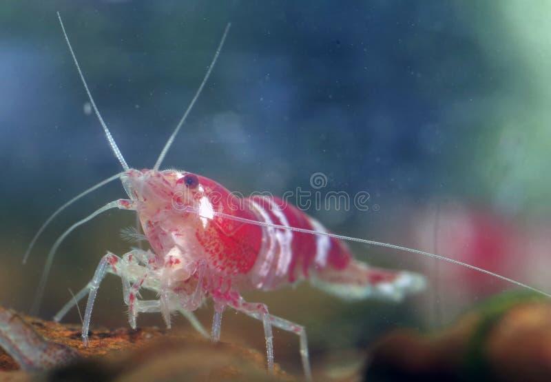 Shrimp. A red white aquarium dwarf shrimp stock photos