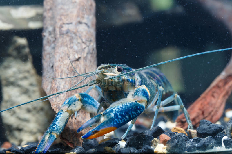 Shrimp in the water. Blue royalty free stock images