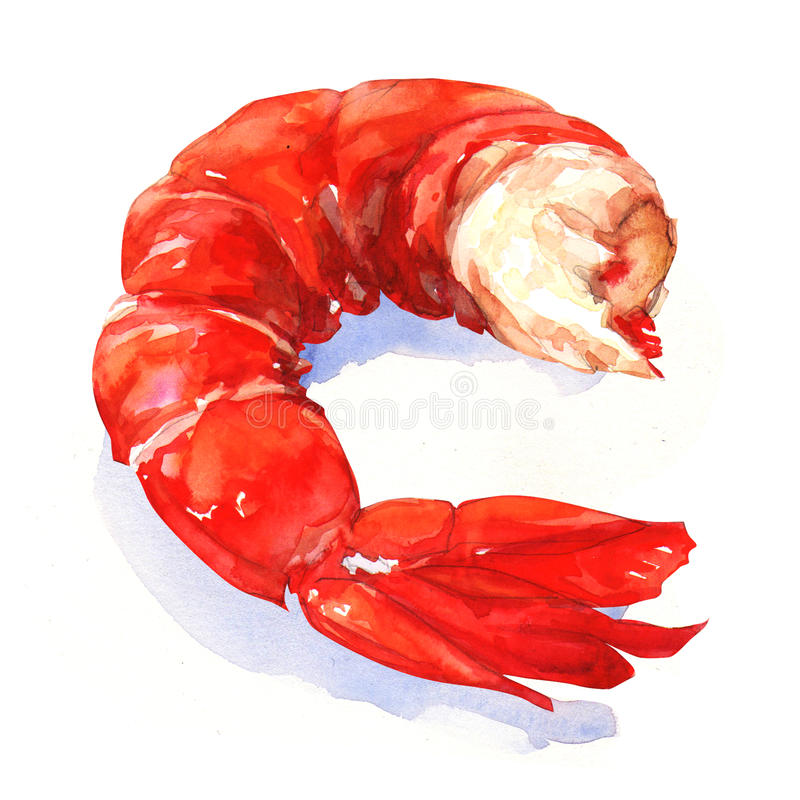Shrimp. watercolor painting vector illustration