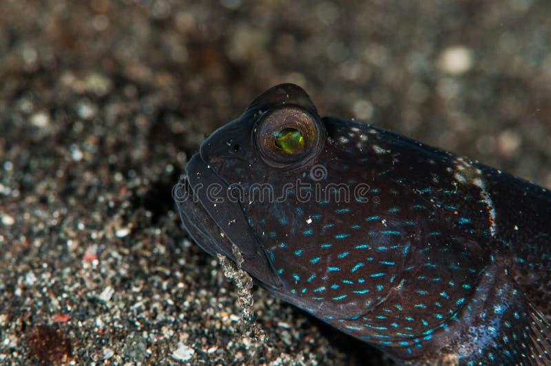Shrimpgoby barrado underwater de Indonésia do lembeh do mergulho autônomo foto de stock