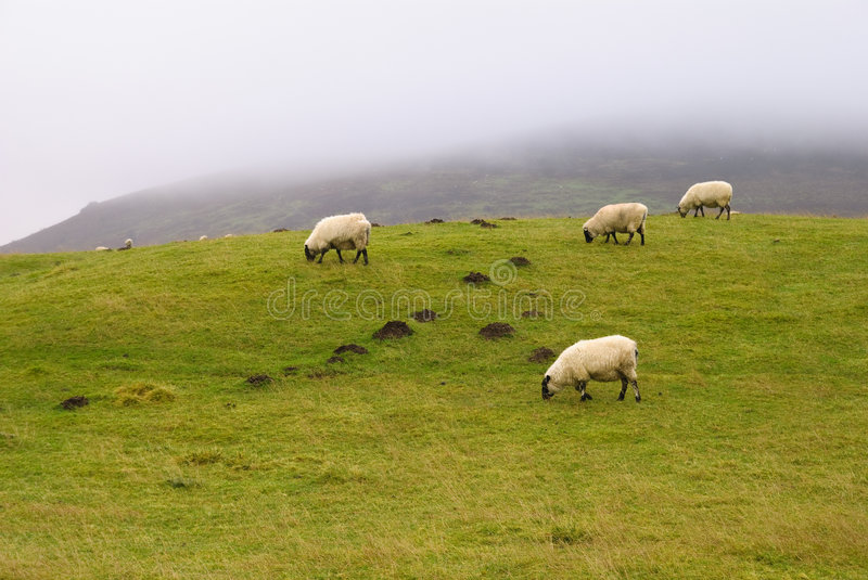 Download Shropshire Hills Sheep stock image. Image of hill, mist - 7579619