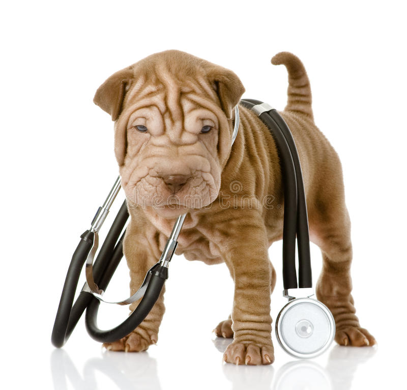Shrpei与一个听诊器的小狗在他的脖子 免版税库存图片