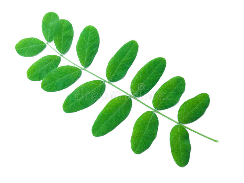 shrub листьев акации стоковое фото