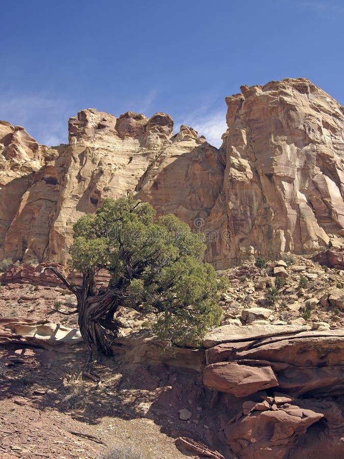 shrub можжевельника стоковая фотография rf