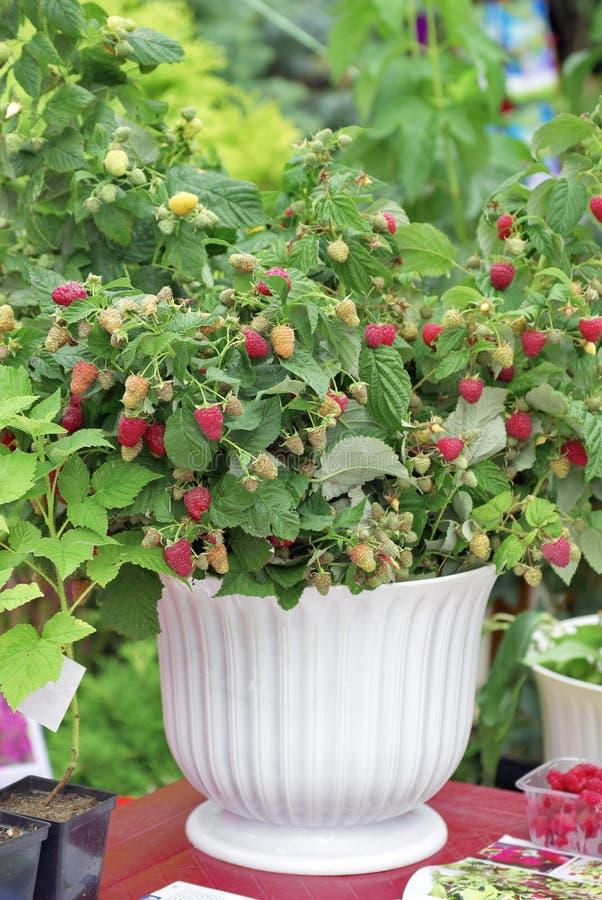 shrub поленики стоковые изображения rf