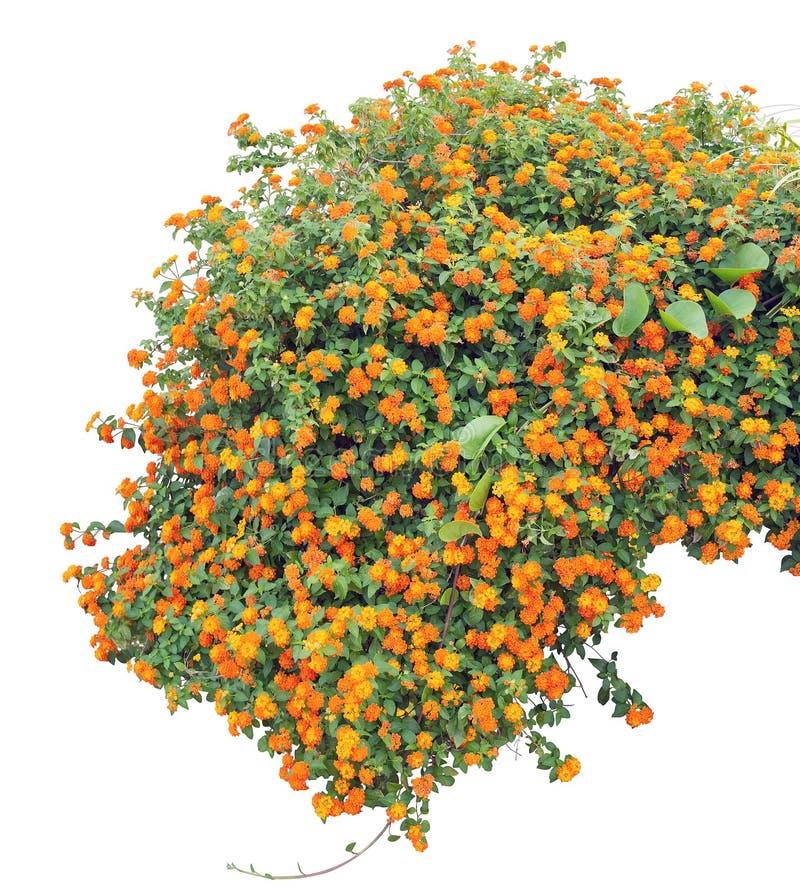 shrub стоковая фотография rf