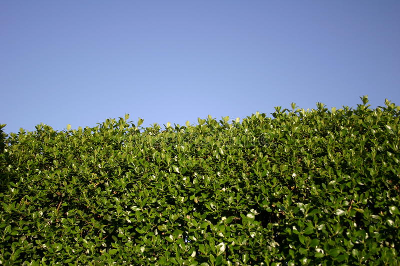 Shrub in blue Sky II