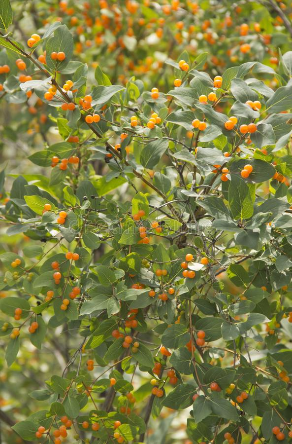 Shrub with bright yellow berries. In daylight stock image