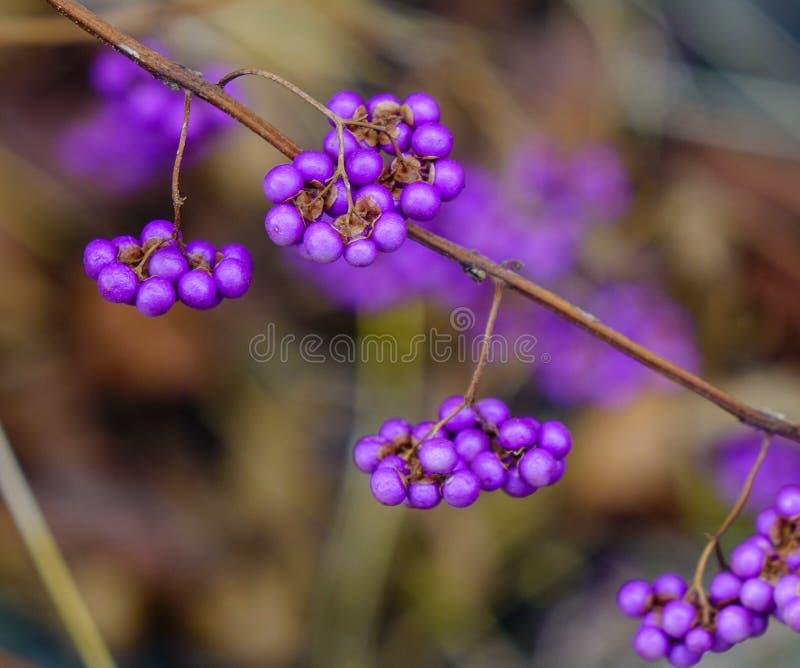 Purple berries in winter. Shrub Callicarpa (Lamiaceae) with purple berries at sunny day in winter stock photo