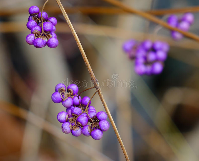 Purple berries in winter. Shrub Callicarpa Lamiaceae with purple berries in winter. Closed up royalty free stock photo