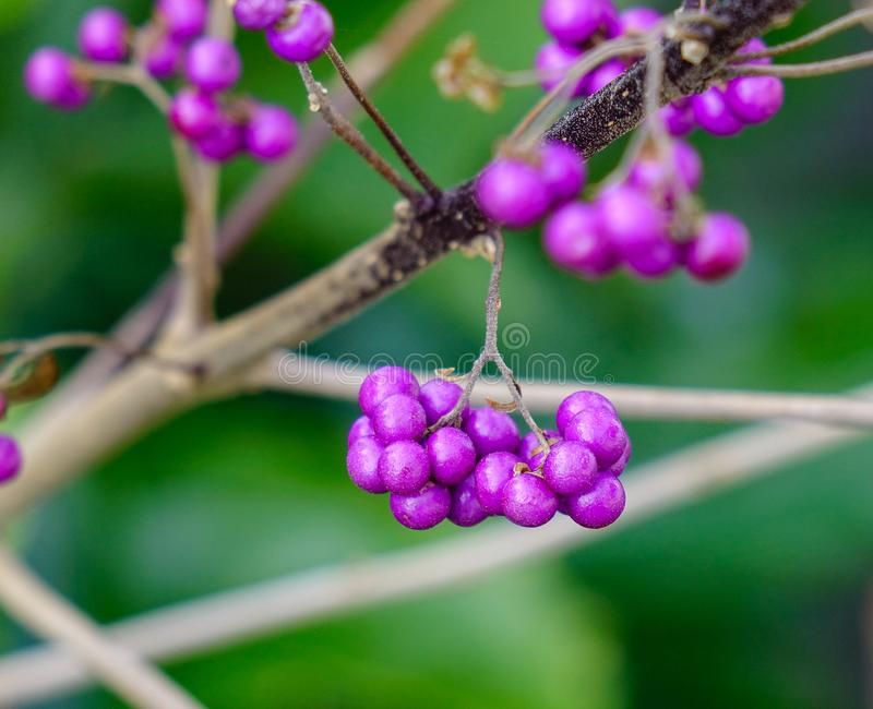 Shrub Callicarpa with purple berries. Shrub Callicarpa Lamiaceae with purple berries at sunny day in winter royalty free stock image