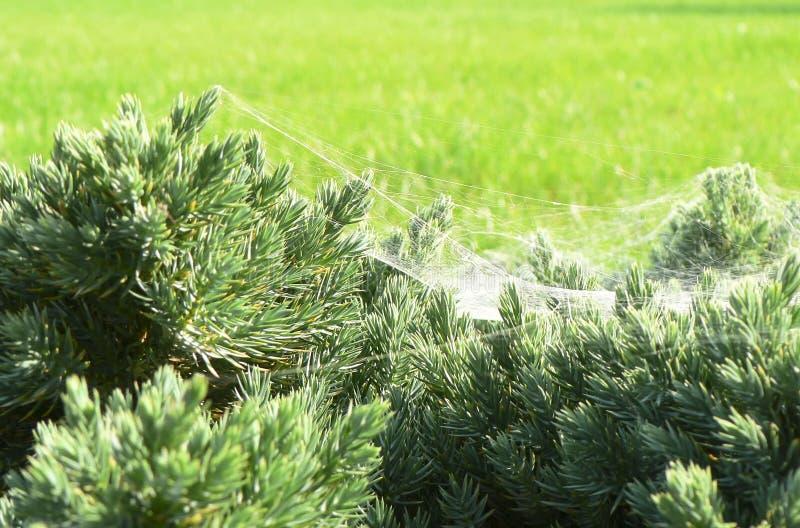 Shrub and Cobweb. In Garden stock photo