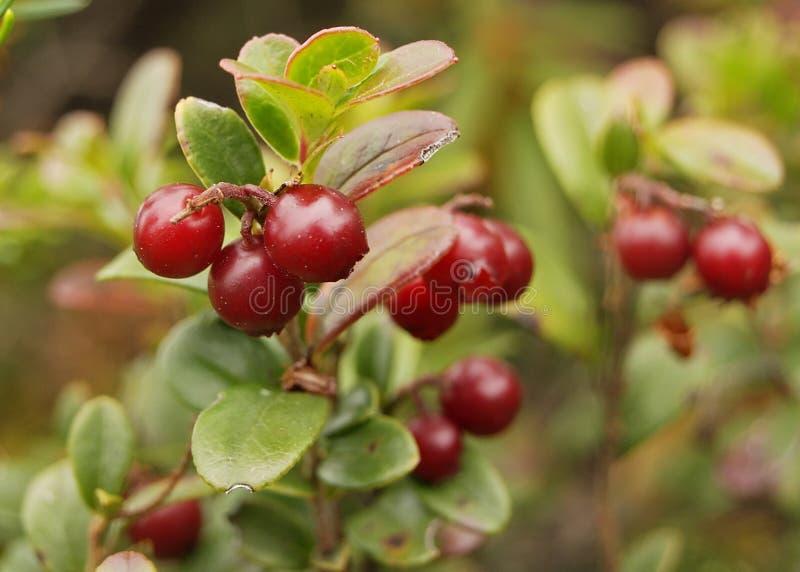 shrub cowberries стоковое фото rf