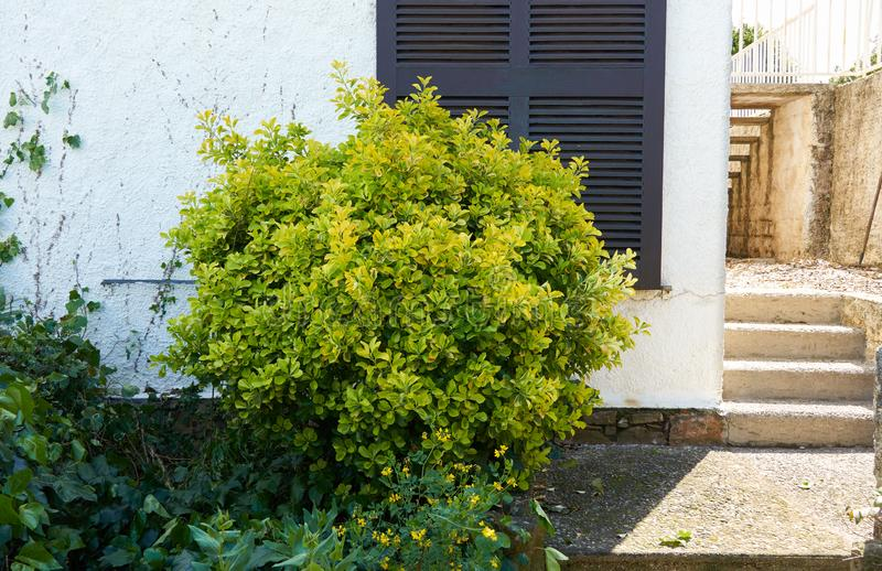 Shrub of euonymus. Grows near the house in French Riviera royalty free stock image