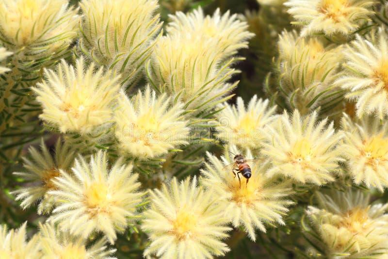 Shrub Featherhead с пчелой стоковое изображение rf