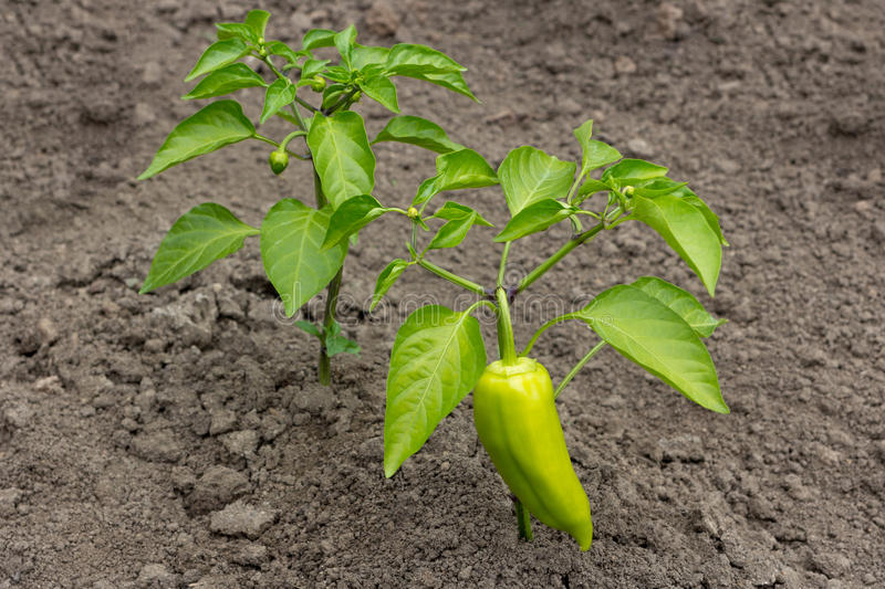 Shrub with growing green peppers capsicum. Photo stock photo
