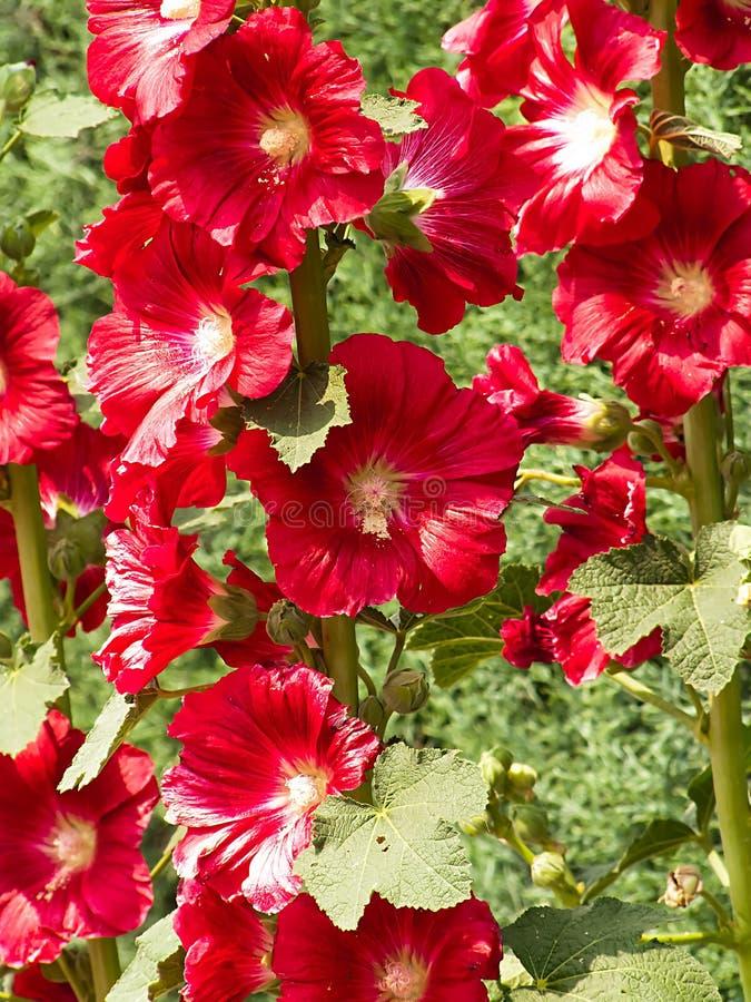Shrub Hibiscus стоковая фотография