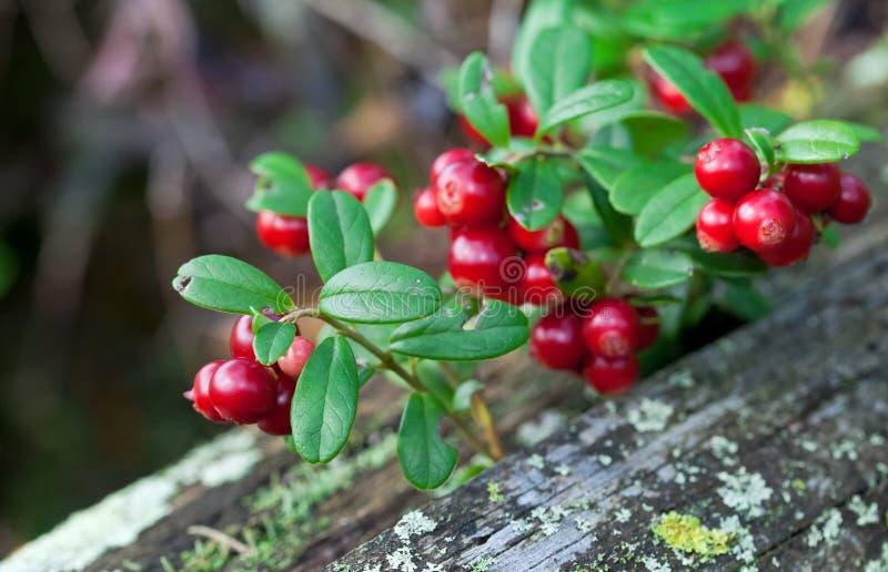 shrub lingonberry ягод стоковое фото rf
