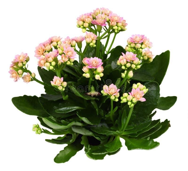 Free Shrub Of Kalanchoe Flower Stock Images - 176130634