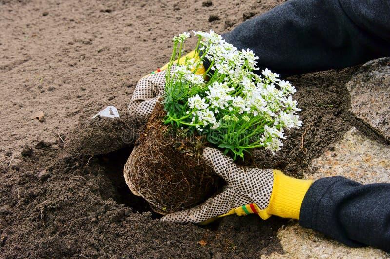 Shrub planting stock images