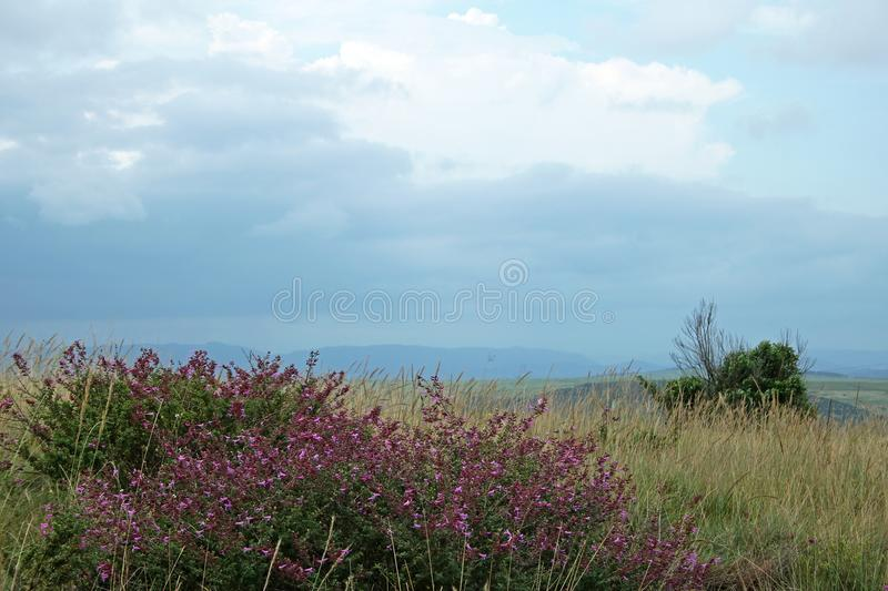 SHRUB WITH PURPLE FLOWERS IN GRASSLAND royalty free stock photography