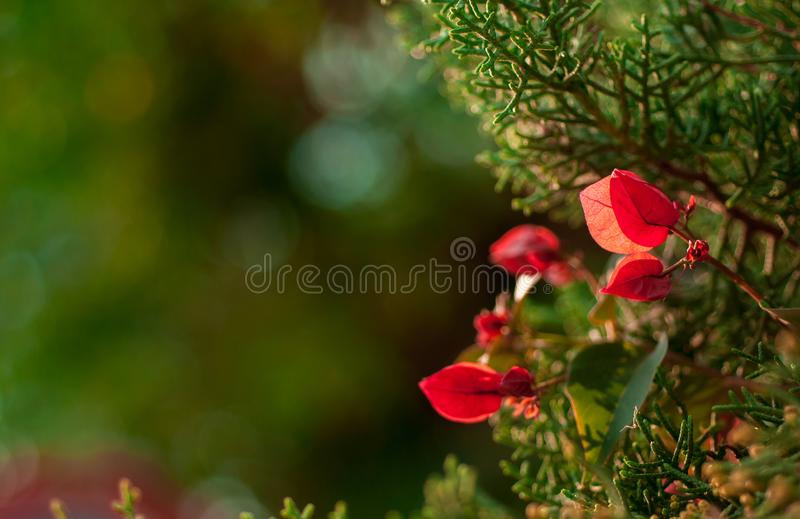 Shrub with red flat flowers royalty free stock photo