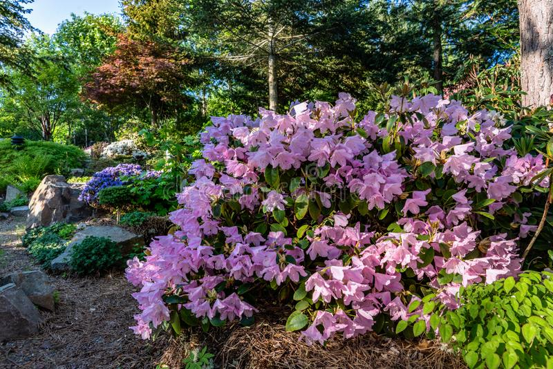 Shrub of Rhododendron filled with fragile pink flowers in full bloom royalty free stock photo
