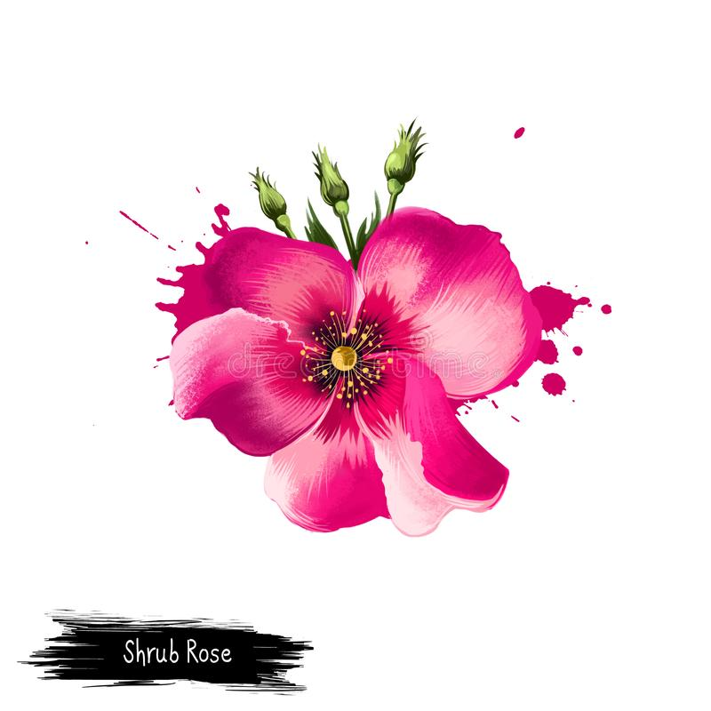 Digital art illustration of Shrub Rose isolated on white. Hand drawn flowering bush Rosa rubiginosa. Colorful botanical drawing. royalty free illustration